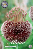 Allium forelock flower head purple Allium to buy online