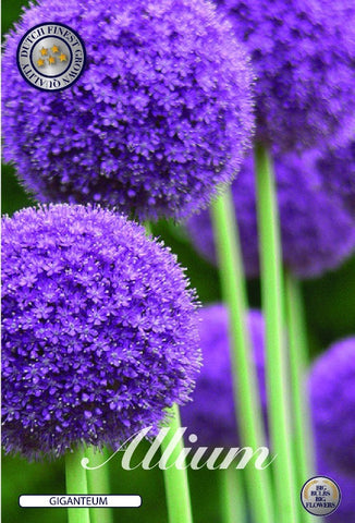 Allium giganteum flower heads, spherical flowers from bulbs for sale online UK