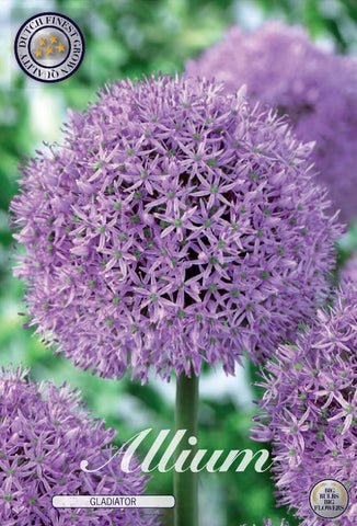 Allium gladiator purple spherical flower head bulbs available online UK