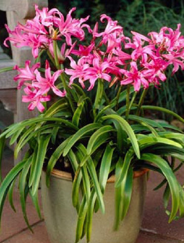Amarine tubergenii Belladiva Pink flower cross Amaryllis x Nerine in a pot Buy online at Dutch Garden Bulbs