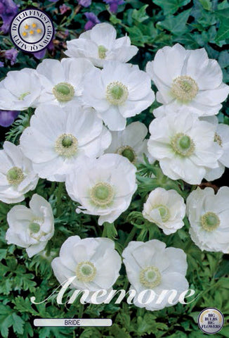 Anenome Bride white flowers Bulbs available online at Dutch Garden Bulbs