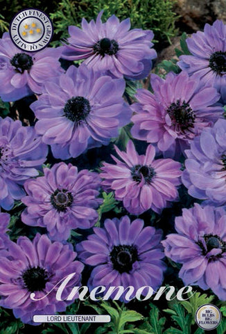 Anemone Lord Lieutenant bulbs from Dutch Garden Bulbs UK online