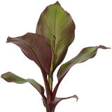 Abyssinian Red Banana Plant - Ensete ventricosum maurelii