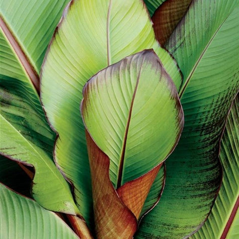 Banana plant to buy in the UK Abysinnian red banana plant leaves