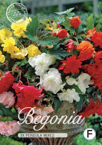 "Begonia "" Pendula Mixed"""