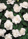 "Begonia ""Double White"""