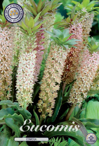 Eucomis Comosa plant bulbs to buy online from Dutch Garden Bulbs UK