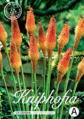 "Kniphofia ""Red Hot Poker"""