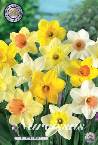 Narcissus daffofil flowers bulbs to buy UK