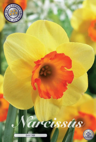 Narcissus daffodil bantam bulbs to buy in the UK