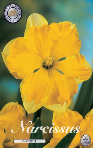 Narcissus chantarell daffodil flower Bulbs for sale in the UK