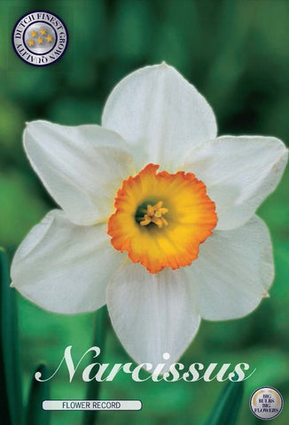 Narcissus flower record white daffodil head yellow trumpet UK bulbs