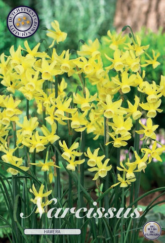 Narcissus hawera daffodil flowers bulbs available in the UK