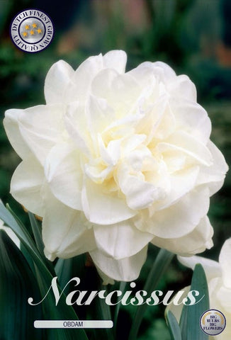 Narcissus Obdam white double daffodil flower Bulbs to buy UK