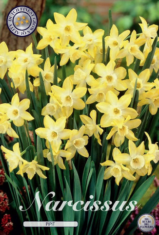 Narcissus pipit yellow miniature daffodil flowers UK
