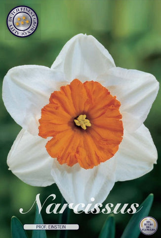 Narcissus professor einstein daffodil head whit with orange centre  bulbs UK