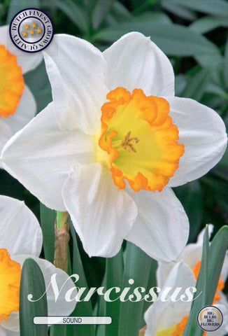Narcissus sound white daffodil yellow centre flower Bulbs to buy UK