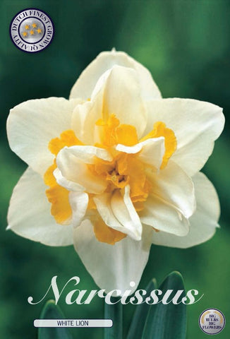 Narcissus white lion daffodil flower double flower white and yellow bulbs to buy