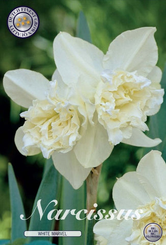Narcissus white marvel double daffodil flower head bulbs to buy UK