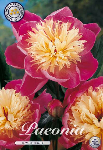 "Peony ""Bowl of Beauty"""