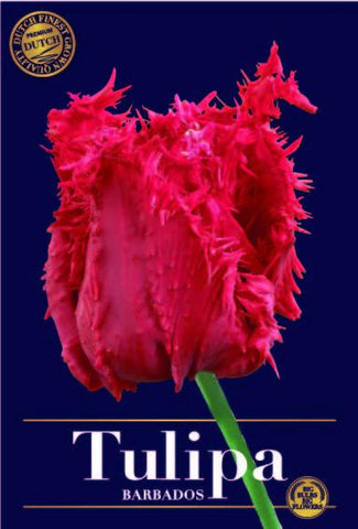 Tulipa barbados red fringed tulip bulbs buy online at Dutch Garden Bulbs UK