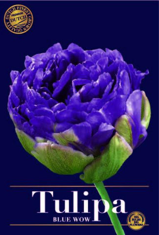 Tulipa Blue Wow blue purple tulip flower head Best quality Online bulbs UK