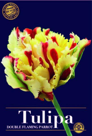 Tulipa flaming parrot double Bulbs available from Dutch Garden Bulbs UK