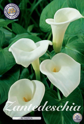 Zantedeschia aetiopica calla lily white flowers UK