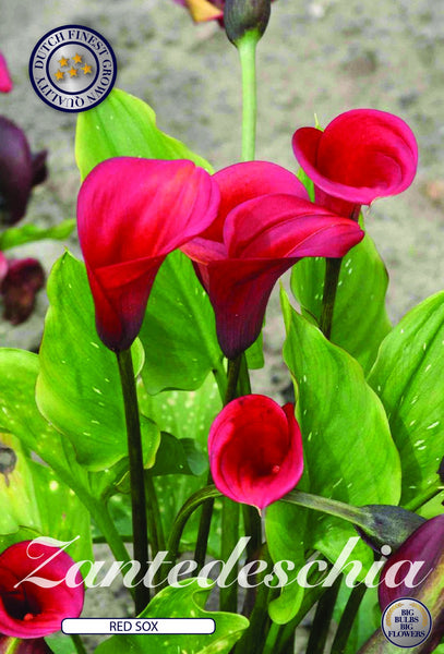 Zantedeschia 'Red Sox' Calla Lily