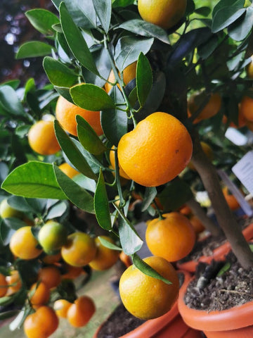 Calamondin orange tree fruit Buy from Dutch Garden Bulbs UK