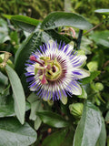 Passiflora caerulea- Passion Flower