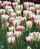 Tulip 'Flaming Spring Green'
