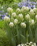 Tulip 'Harborlight'