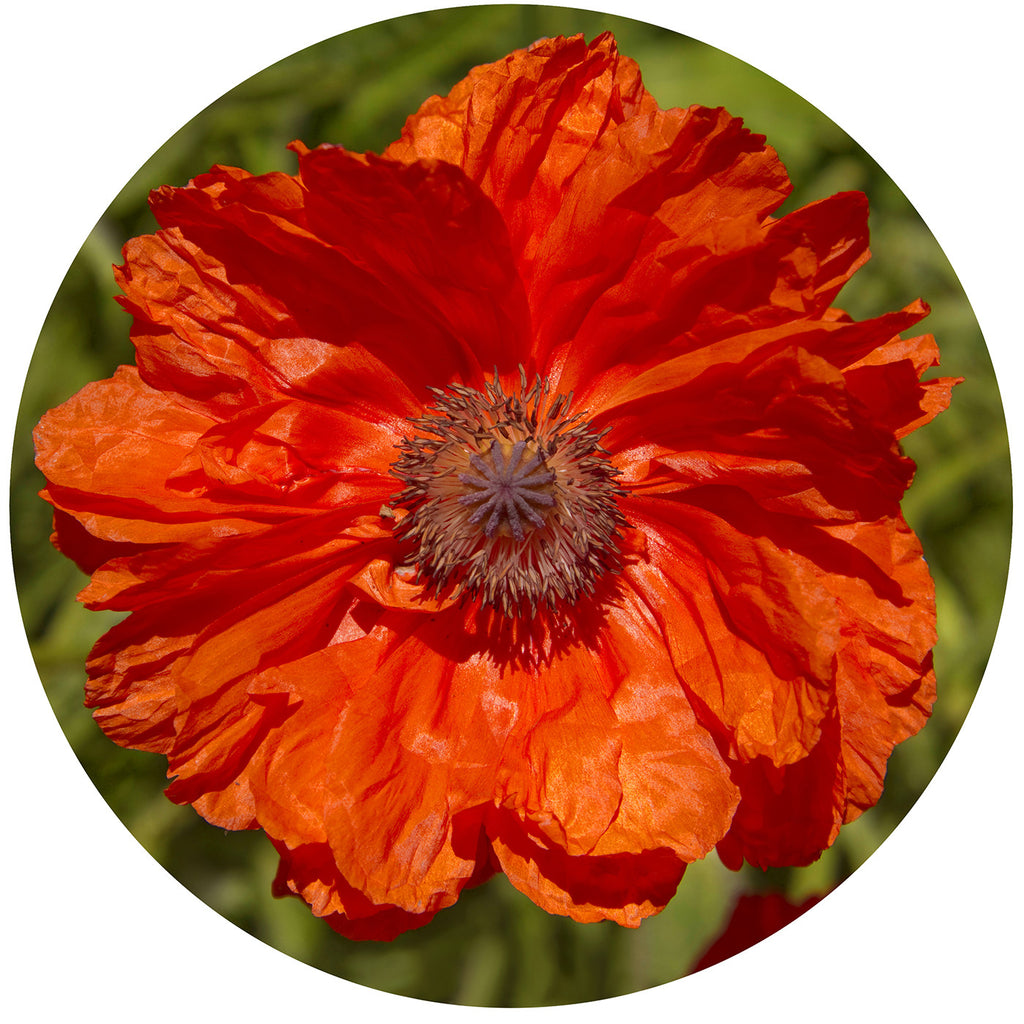 Cutting Board Fine Art Photograph Orange Poppy Flower