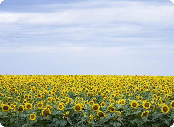 Decorative Cutting Board Glass Photo Sunflowers Field