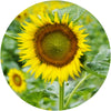 Decorative Glass Cutting Board Sunflowers Fine Art