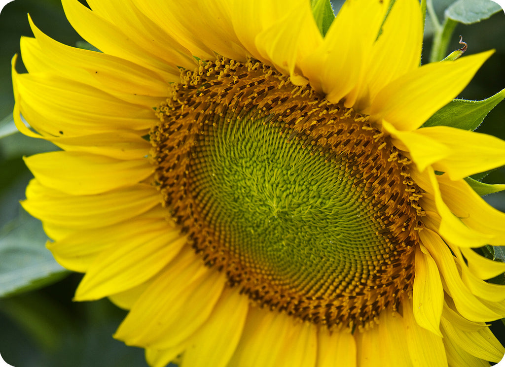 Decorative Cutting Board Glass Sunflower Photograph