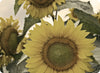 Cutting Board Fine Art Yellow Sunflowers Glass Plate