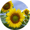 Decorative Cutting Board Sunflowers Glass Plate