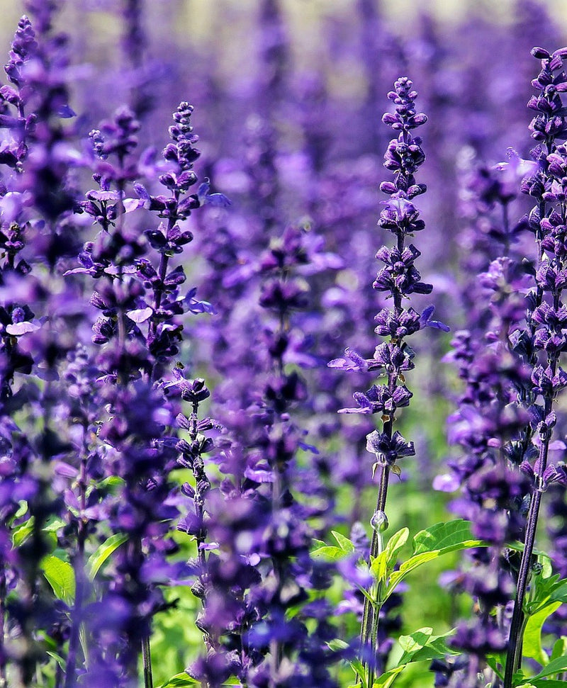 Lavender Essential Oil for Sleep - Burns - Eczema - Cuts - Allergies - Sunburn - Scars