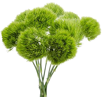 Dianthus Green