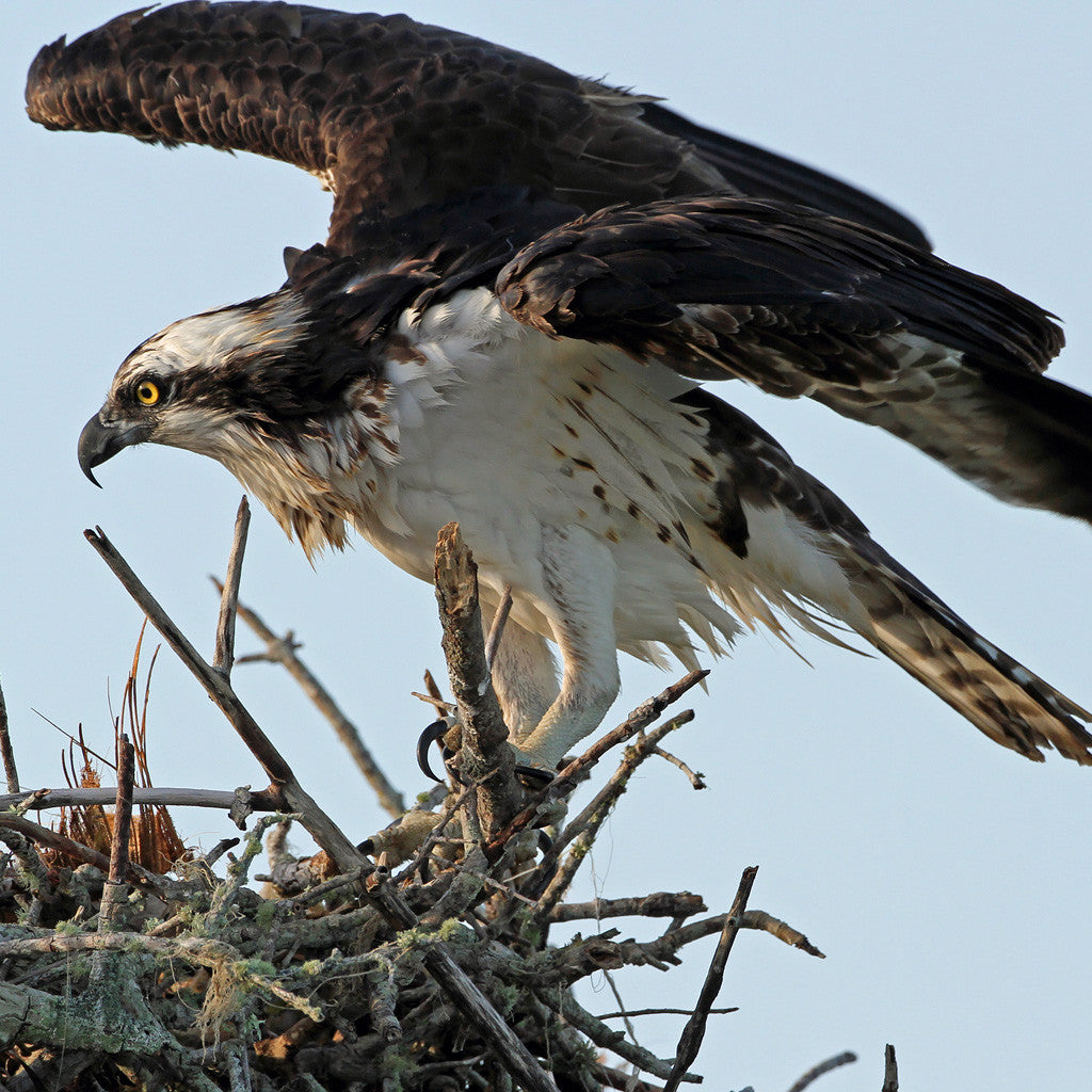 GULLSWEEP® IS ALSO A PROVEN OSPREY DETERRENT