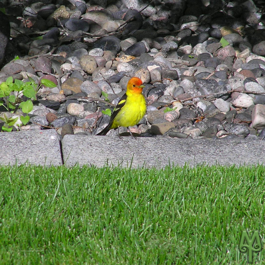 Western Tanagers Arrive In Bozeman