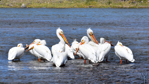 American White Pelicans photo by Montana Treasures