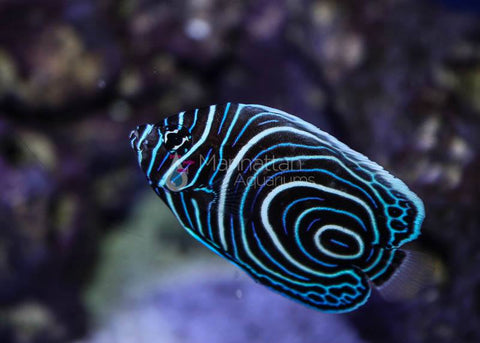 Imperator Angelfish, Juvenile