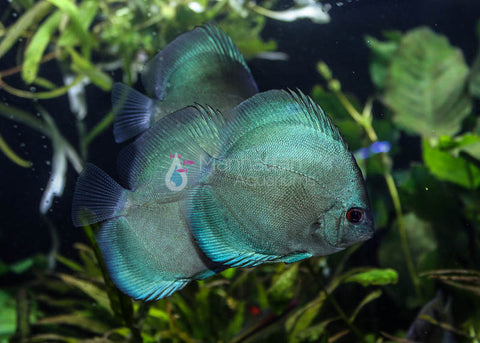 Blue Diamond Discus 4""
