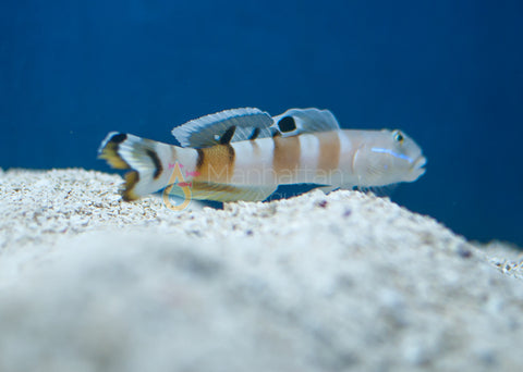Tiger (Wardi) Goby