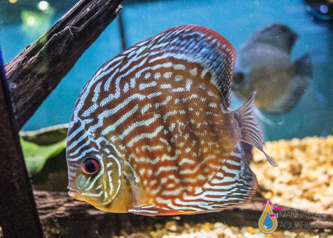 Red Turquoise Discus 4""