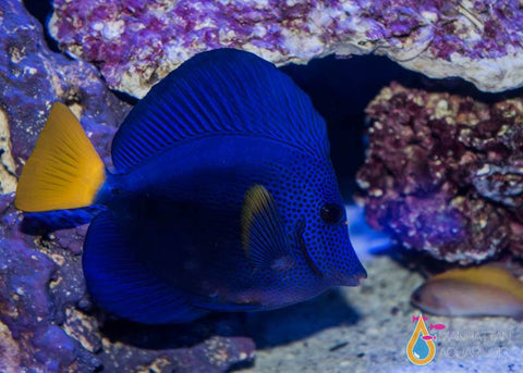 Purple Tang, Large