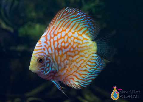 Yellow Pigeon Blood Discus Fish
